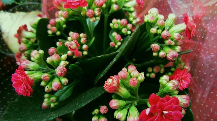 海棠花什么时候开花?海棠花的养殖方法和注意事项