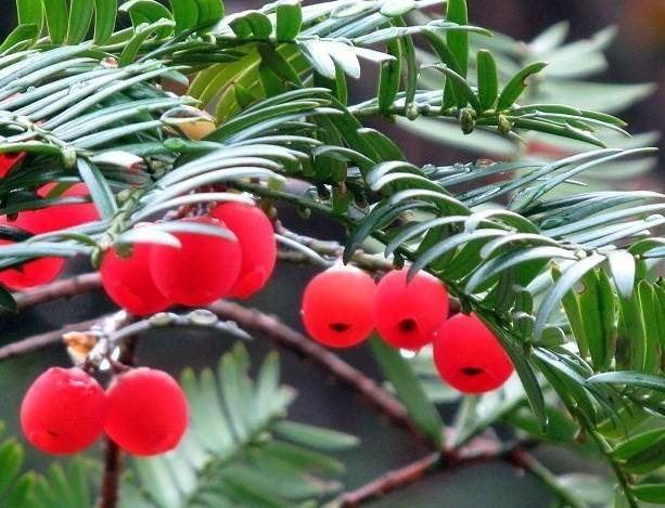 红豆杉的功效与作用 红豆杉的价值