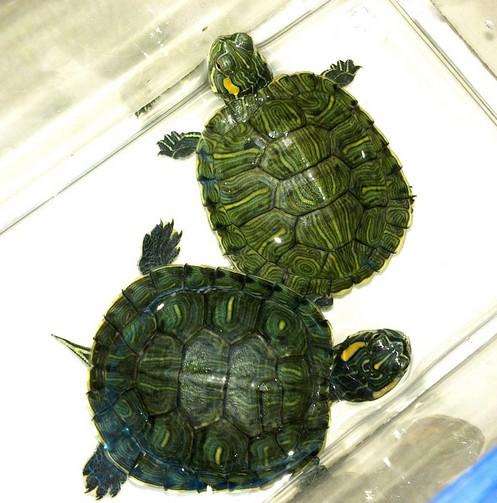 巴西龟怎么养 巴西龟的饲养方法图片