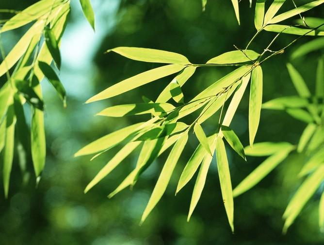 竹子的象征意义850字 竹子的象征意义