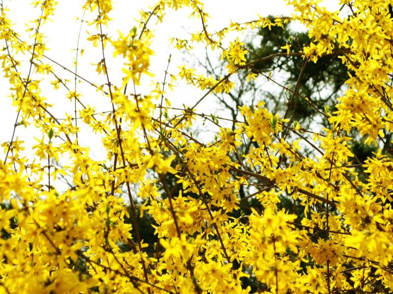 迎春花几月的什么时候开花