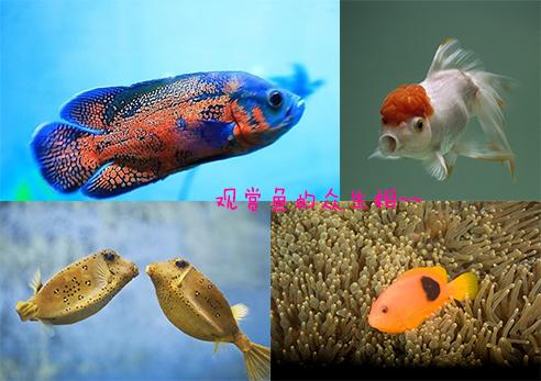 淡水观赏鱼的种类大全介绍