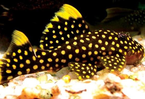 异形观赏鱼种类 观赏鱼种类图片大全