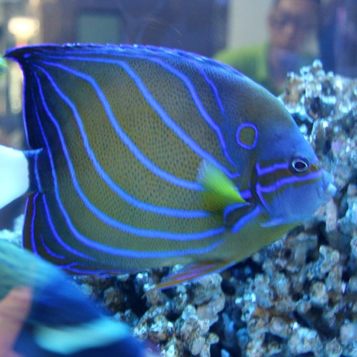 鑫源美 观赏鱼 淡水观赏鱼的种类图片图片