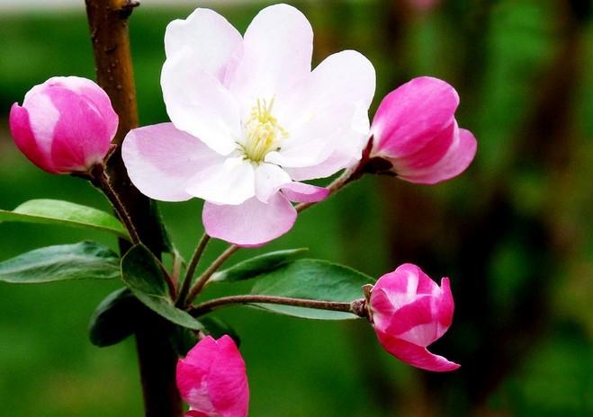 怎么养海棠花-玻璃海棠怎么养/海棠花怎么养知乎/怎么
