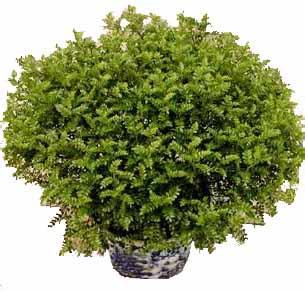 清香木的养殖方法 清香木总掉叶子的原因