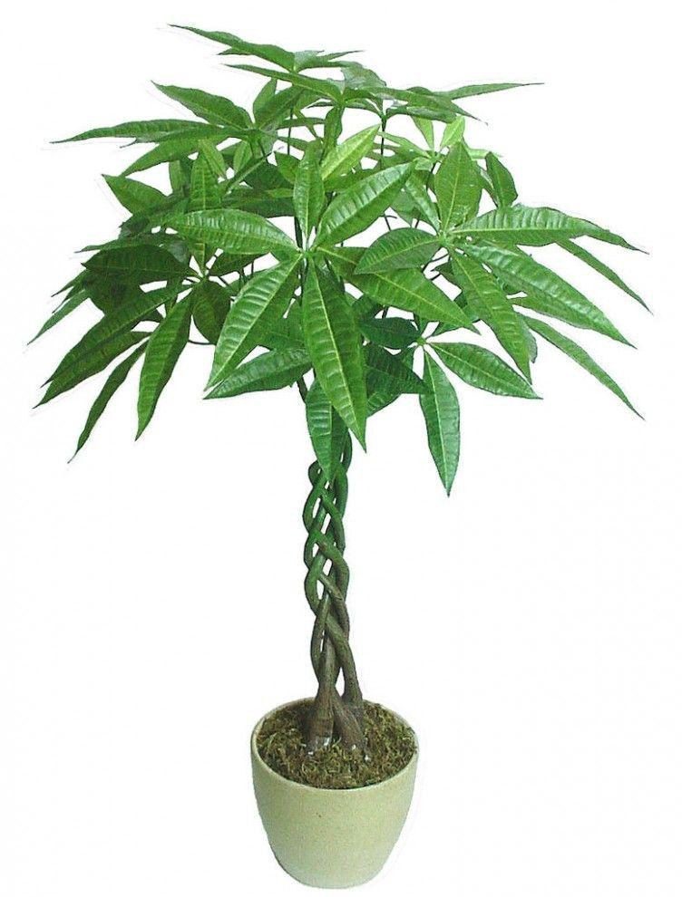 招财树的养殖方法