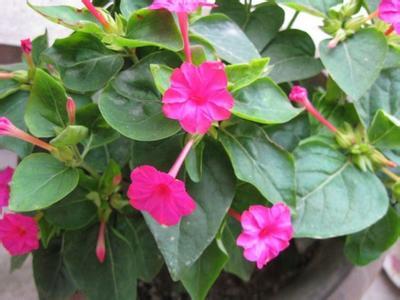茉莉花盆栽种植方法