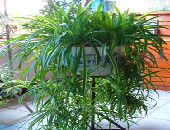 吊蘭是多年生常綠宿根草本花卉,葉子四級常青,不同品種的吊蘭葉子形態不一,一般長度介于30~60厘米之間,多為懸掛盆栽,常作室內裝飾之用,為觀賞性植物之佳選。  我們日常生活中常見的吊蘭的種類主要有:金邊吊蘭、金魚吊蘭、牡丹吊蘭、千葉吊蘭、綠蘿吊蘭、水吊蘭等,種類繁多。 要說到吊蘭的作用,那真是太大了。吊蘭可吸收室內80%以上的有害氣體,吸收掉86%的甲醛,還能將火爐、電器、塑料制品散發的一氧化碳、過氧化氮吸收殆盡。對于現代都市生活的我們來說,經常面對各種各樣的數碼產品散發出來的輻射,放1~2盆吊蘭在旁邊,