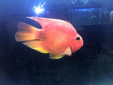 鹦鹉鱼喜欢吃什么图片