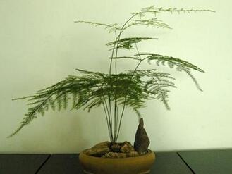 文竹的养殖方法和注意事项图片   文竹怎么养文竹的养殖方